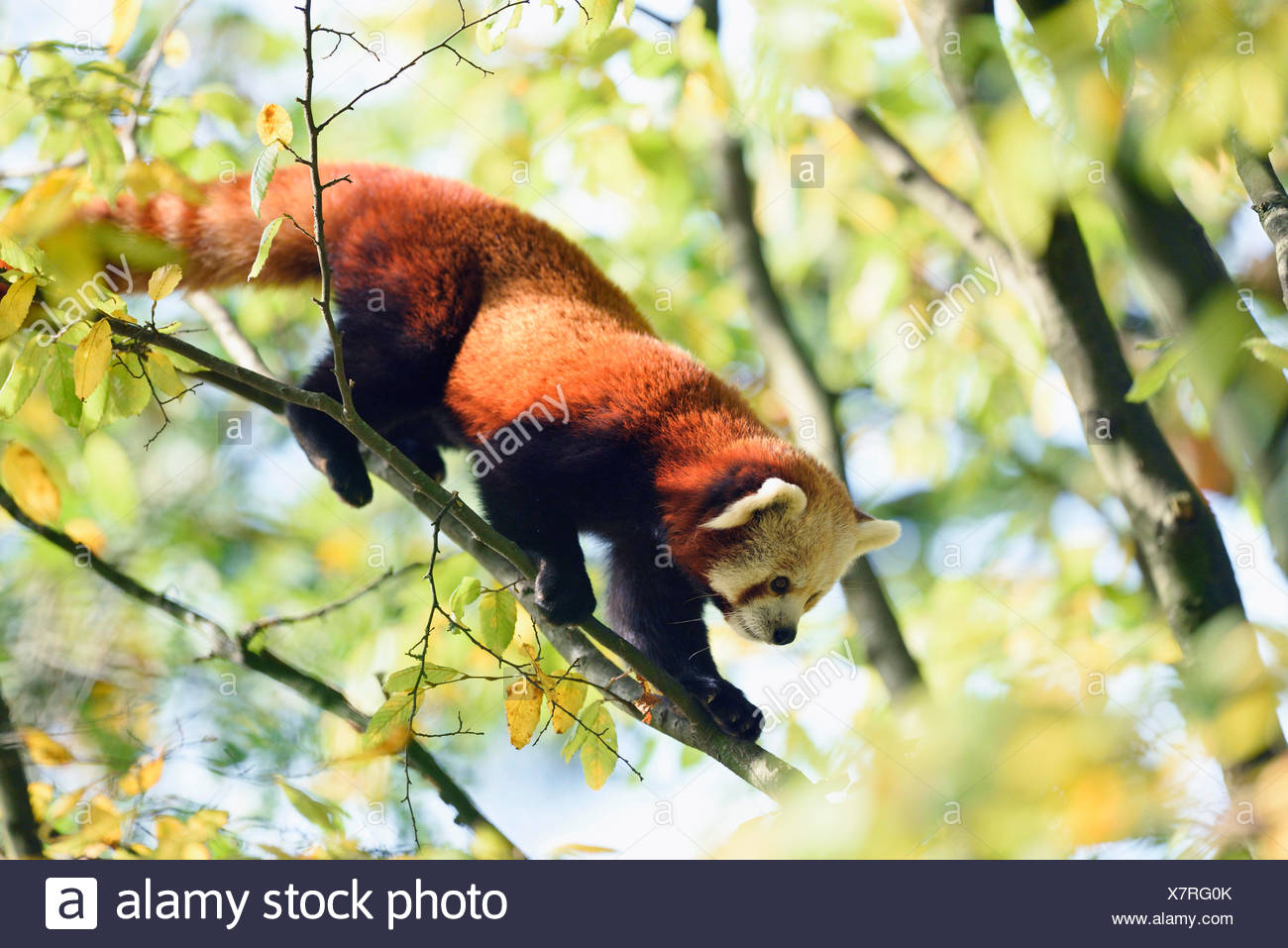 lesser panda, red panda (Ailurus fulgens), climbing on a branch Stock Photo
