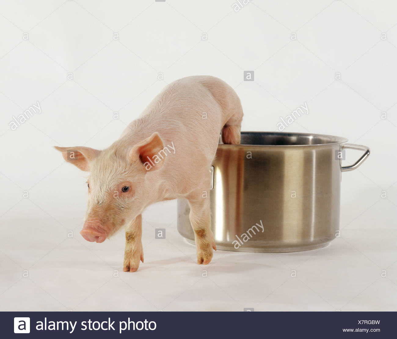 piglet jumping out of cooking pot - Stock Image
