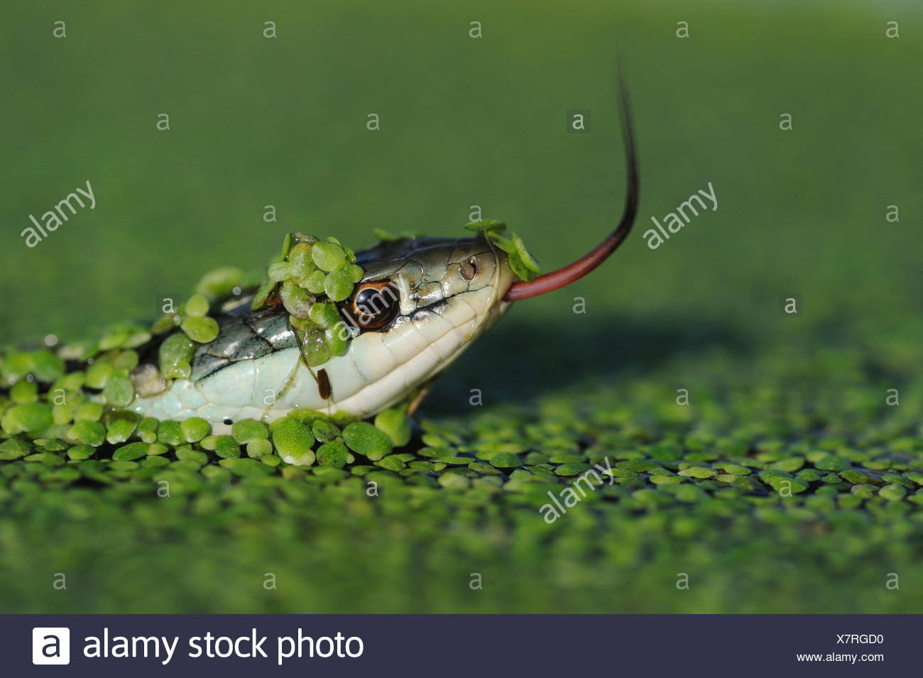 Head portrait of Gulf Coast Ribbon snake (Thamnophis proximus orarius) covered in duckweed and swimming, with tongue protruding,  Fennessey Ranch, Refugio, Corpus Christi, Coastal Bend, Texas Coast, USA - Stock Image