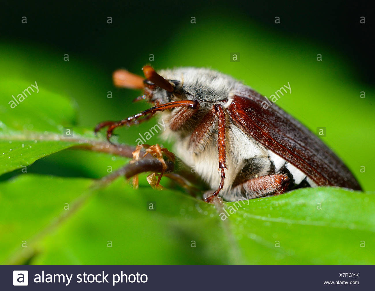Cockchafer, Melolontha, insects, scarab beetles, Polypagha, beetle, creepy-crawlies, animal, animals, Germany, Europe, - Stock Image