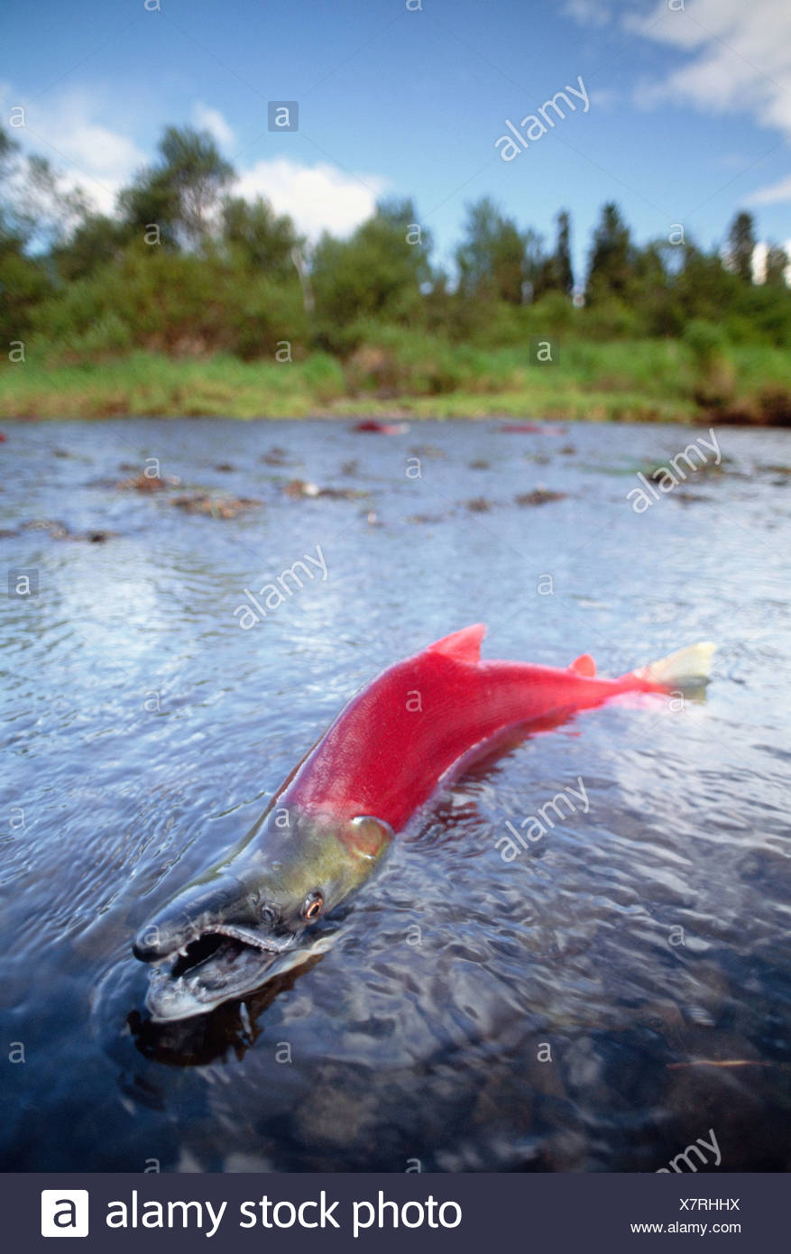 Sockeye salmon spawn in Hansen Creek, Wood-Tikchik State Park, Alaska, USA - Stock Image