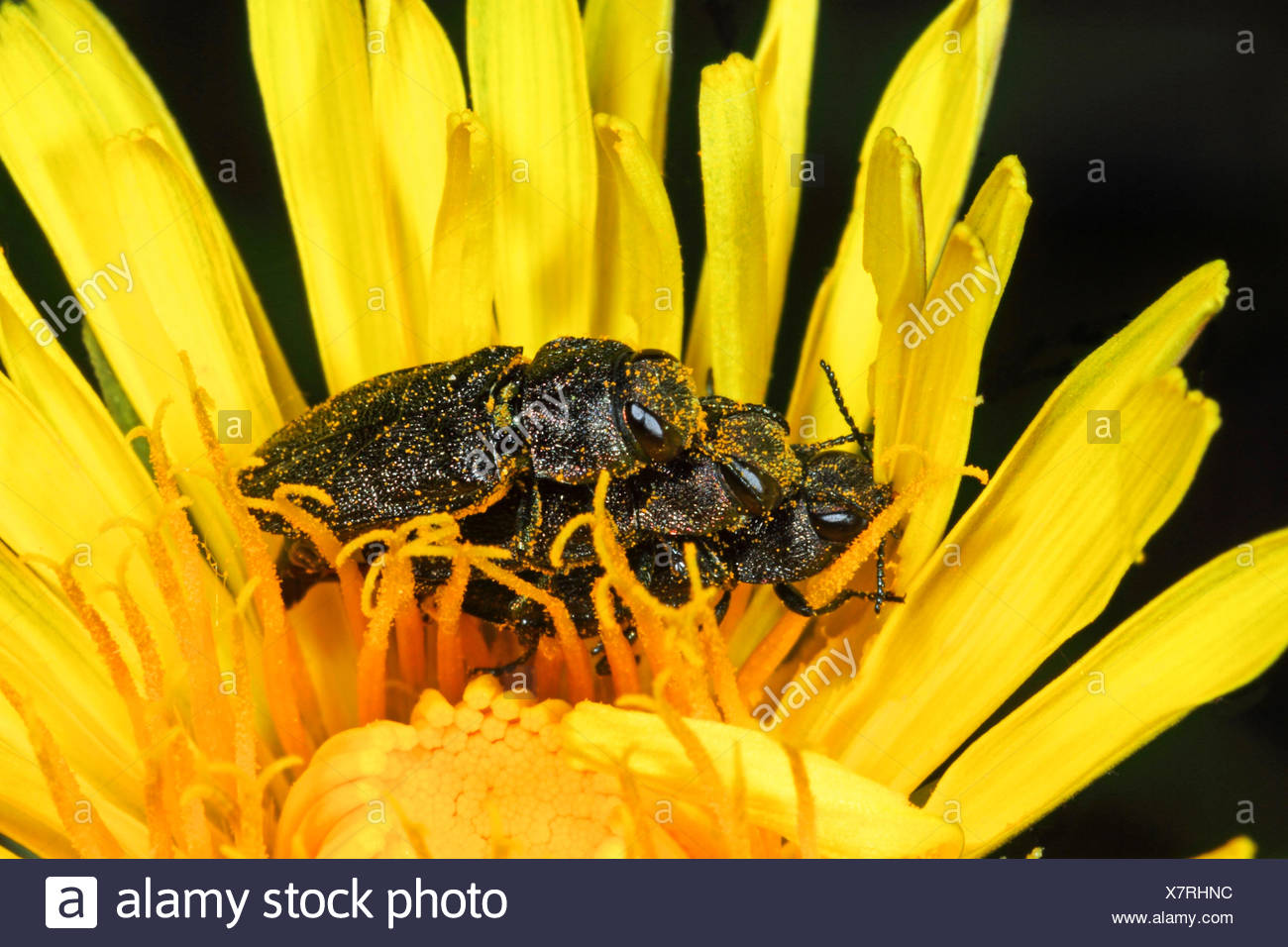 Metallic wood-boring beetle (Anthaxia quadripunctata, Anthaxia quadrimaculata, Melanthaxia quadripunctata), three Metallic wood-boring beetles sit on a flower, Germany - Stock Image
