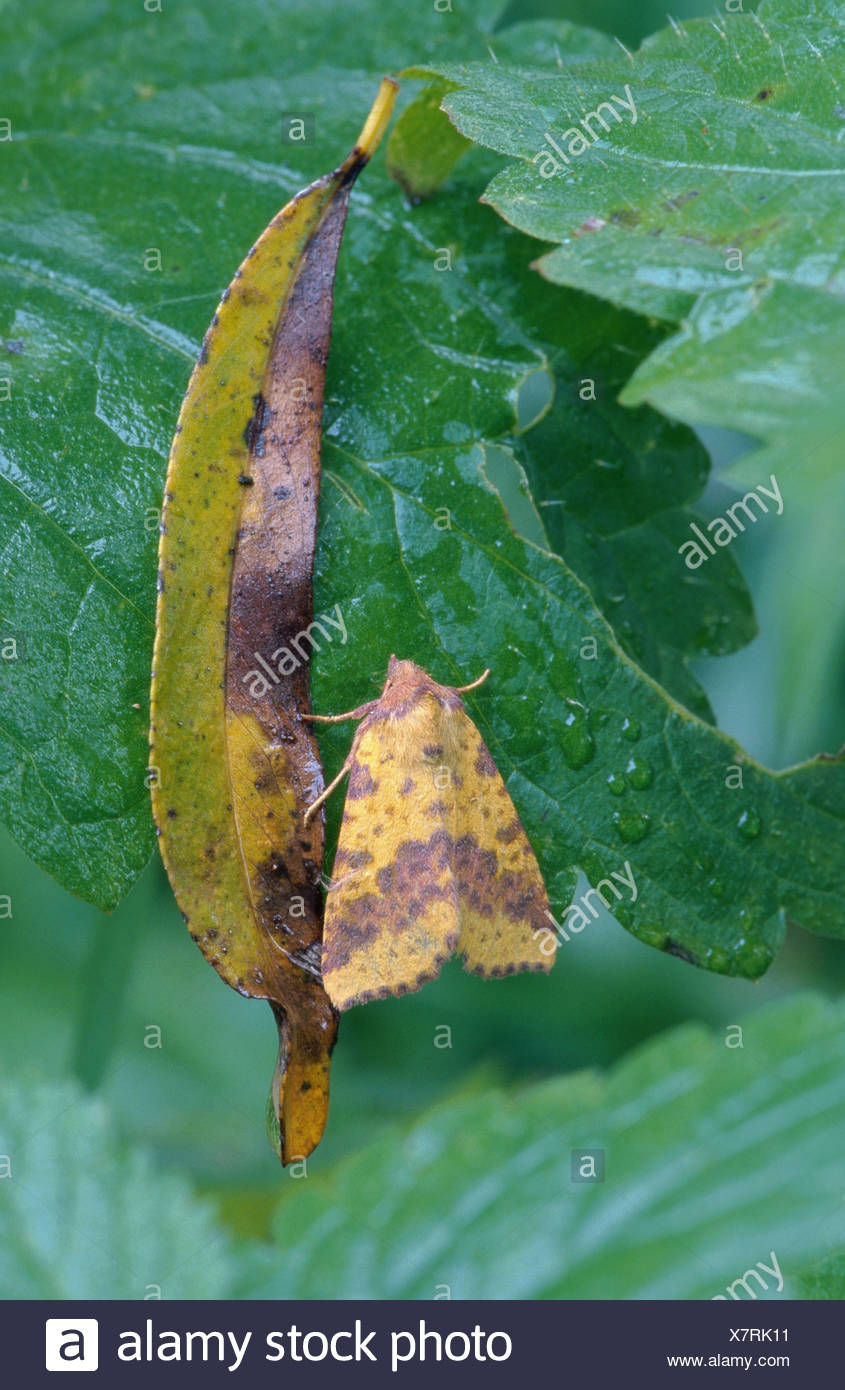 pink-barred sallow (Xanthia togata), resting, Germany, Bavaria, Bad Birnbach - Stock Image
