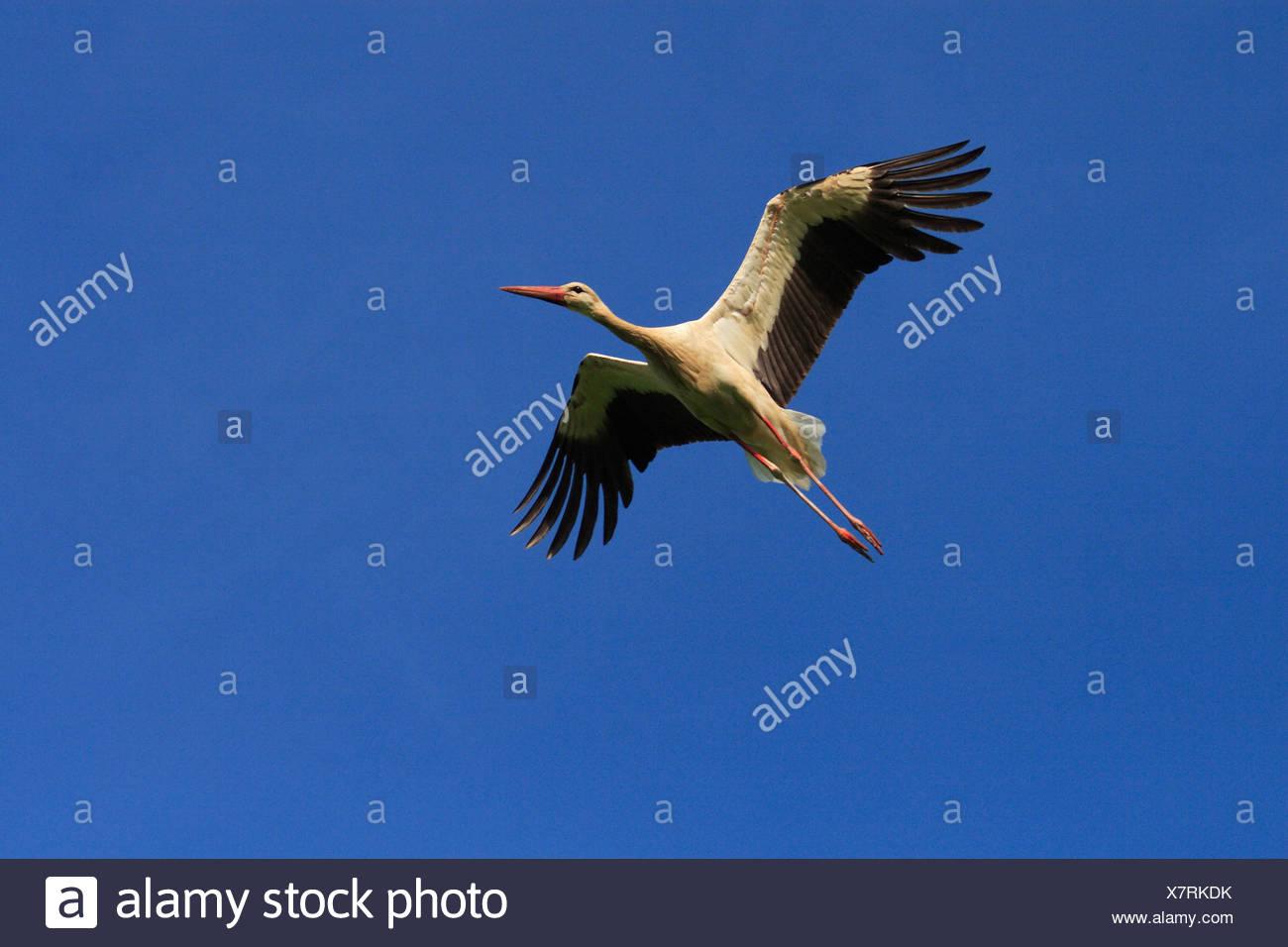 white stork stork Ciconia ciconia Flying Blue sky Summer Switzerland Europe Bird Stock Photo