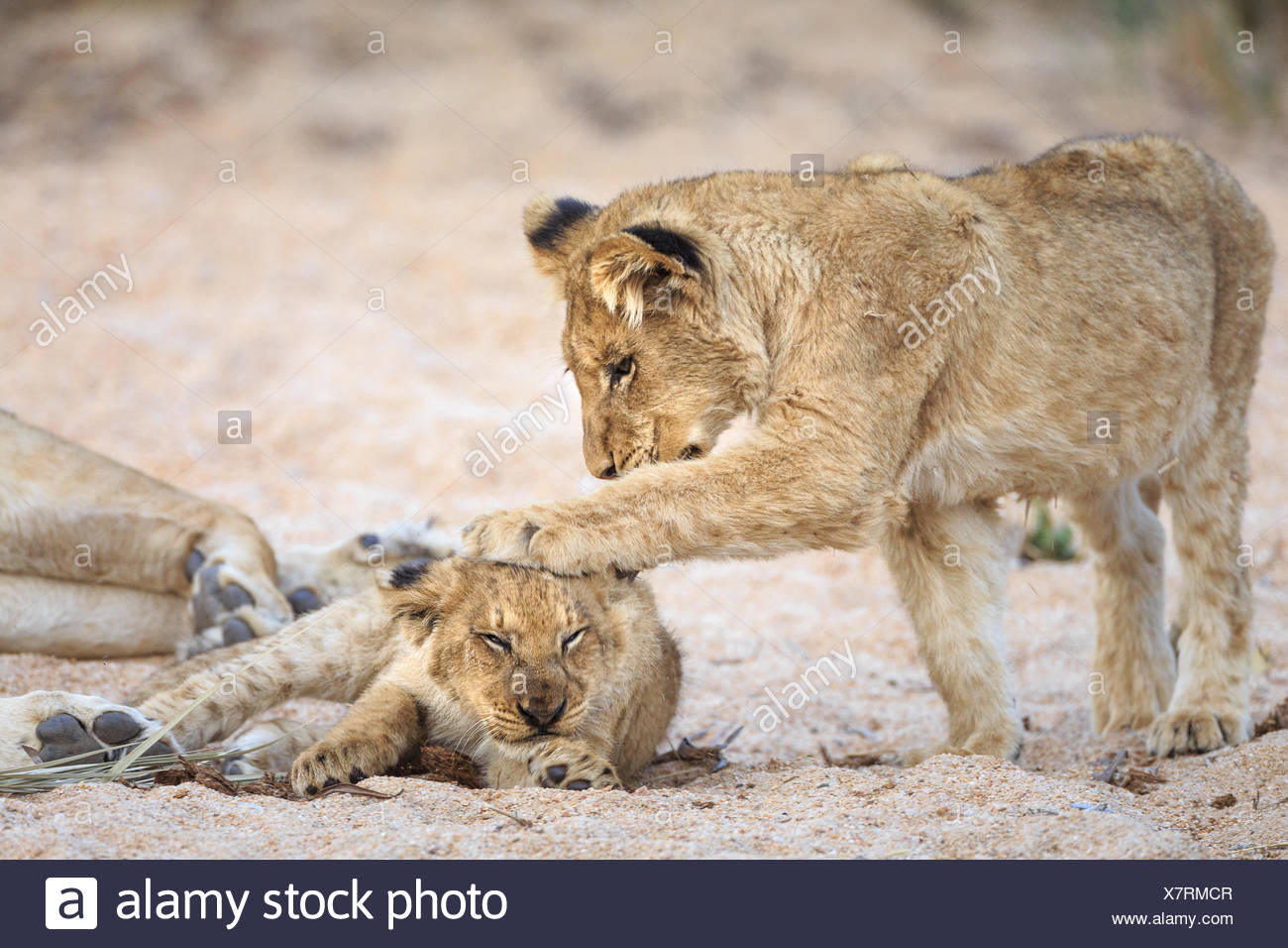 Lion cubs, Panthera leo, playing in a sandy dry riverbed. - Stock Image