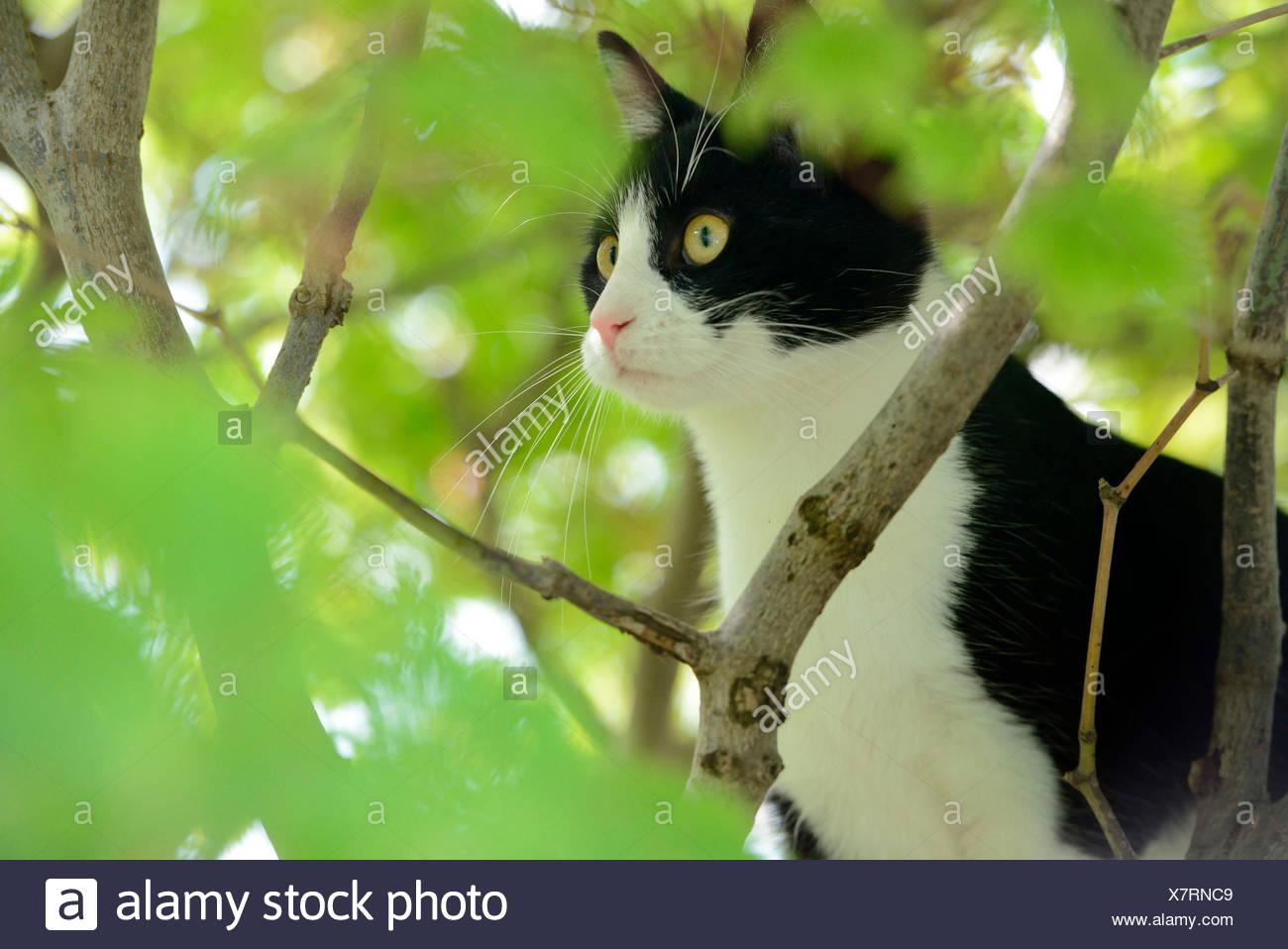 Domestic Cat, kitten climbing in tree - Stock Image