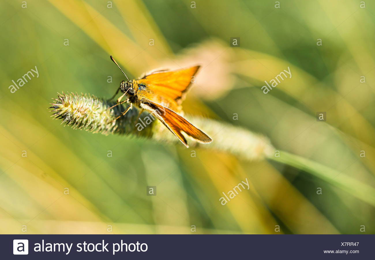 Small Skipper (Thymelicus sylvestris) on a blade of grass, Bavaria, Germany - Stock Image