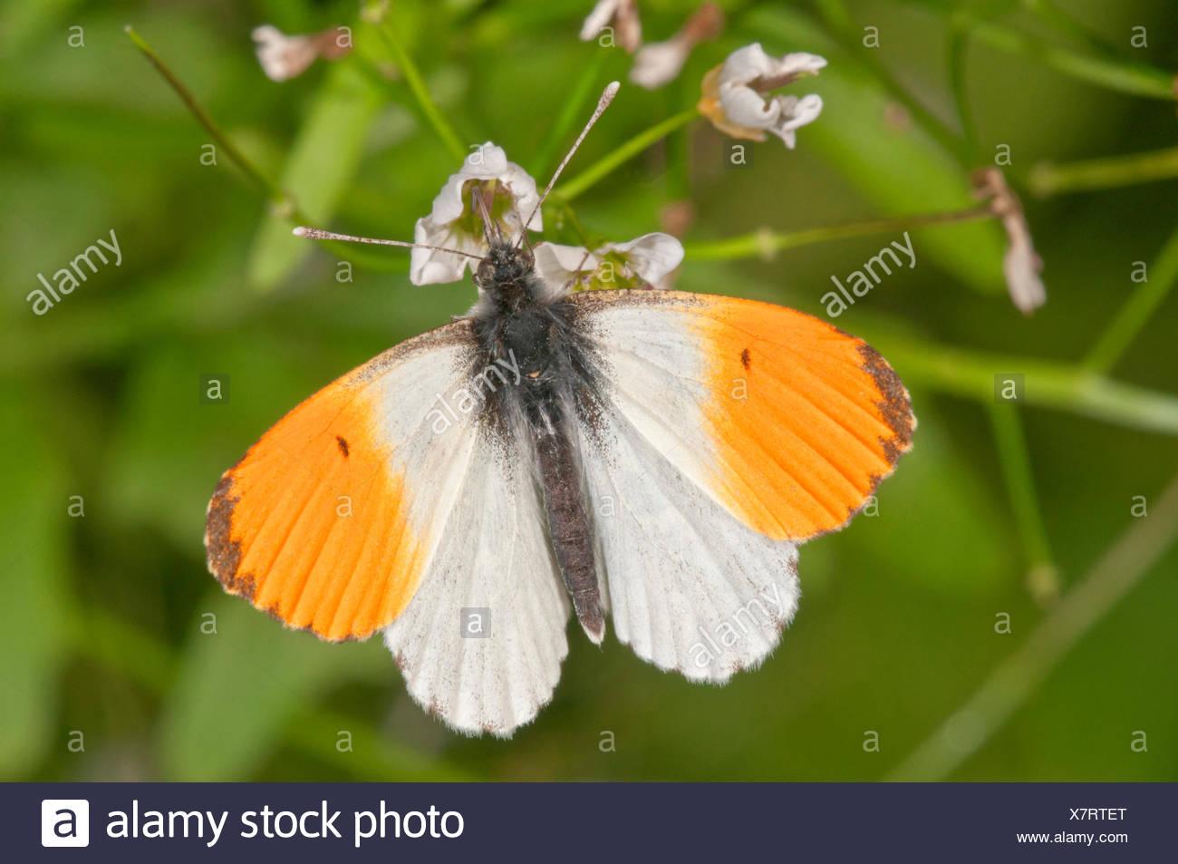 Orange tip (Anthocharis cardamines), male, feeding on large bittercress (Cardamine amara), Baden-Württemberg, Germany Stock Photo