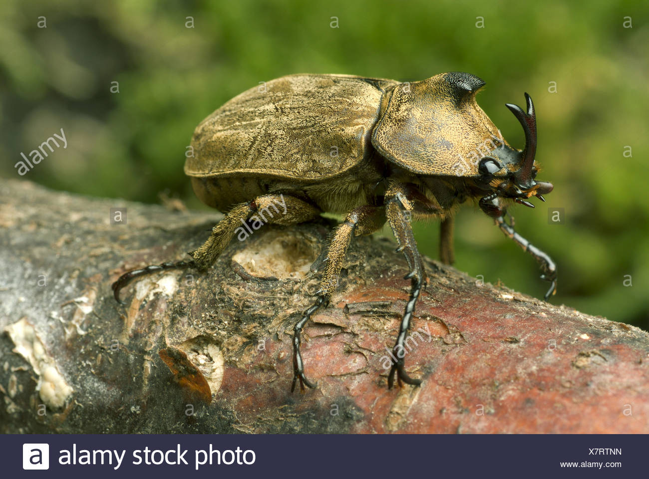 Pfeiffer's rhinoceros beetle, Pfeiffer's horned beetle (Trypoxylus pfeifferi, Allomyrina pfeifferi), male, close-up view Stock Photo