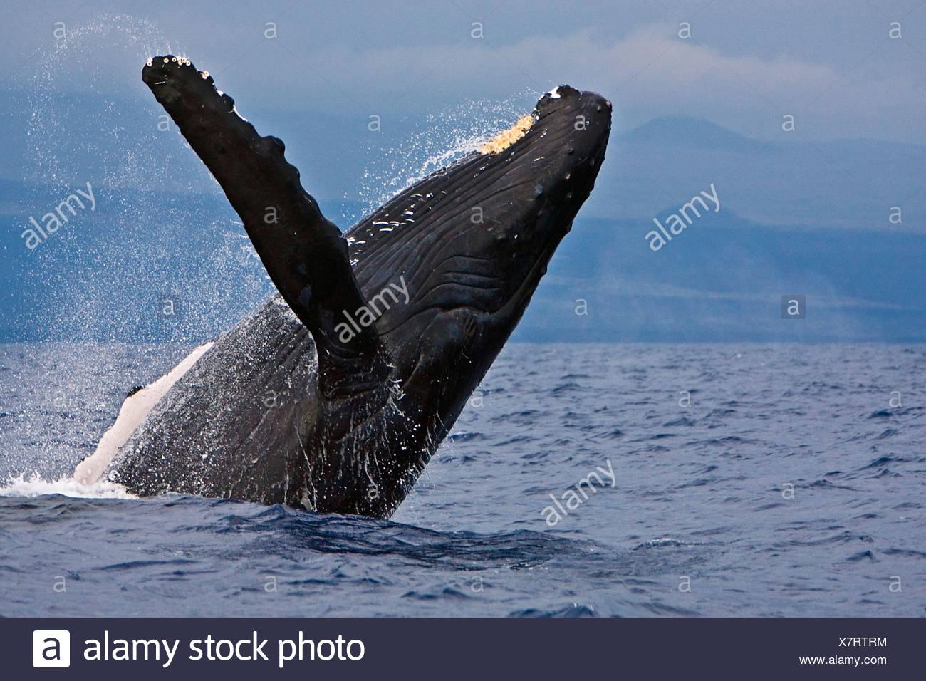 Humpback Whale, Megaptera novaeangliae - Stock Image
