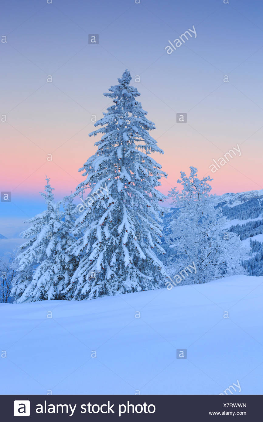 snow covered firs, Switzerland - Stock Image