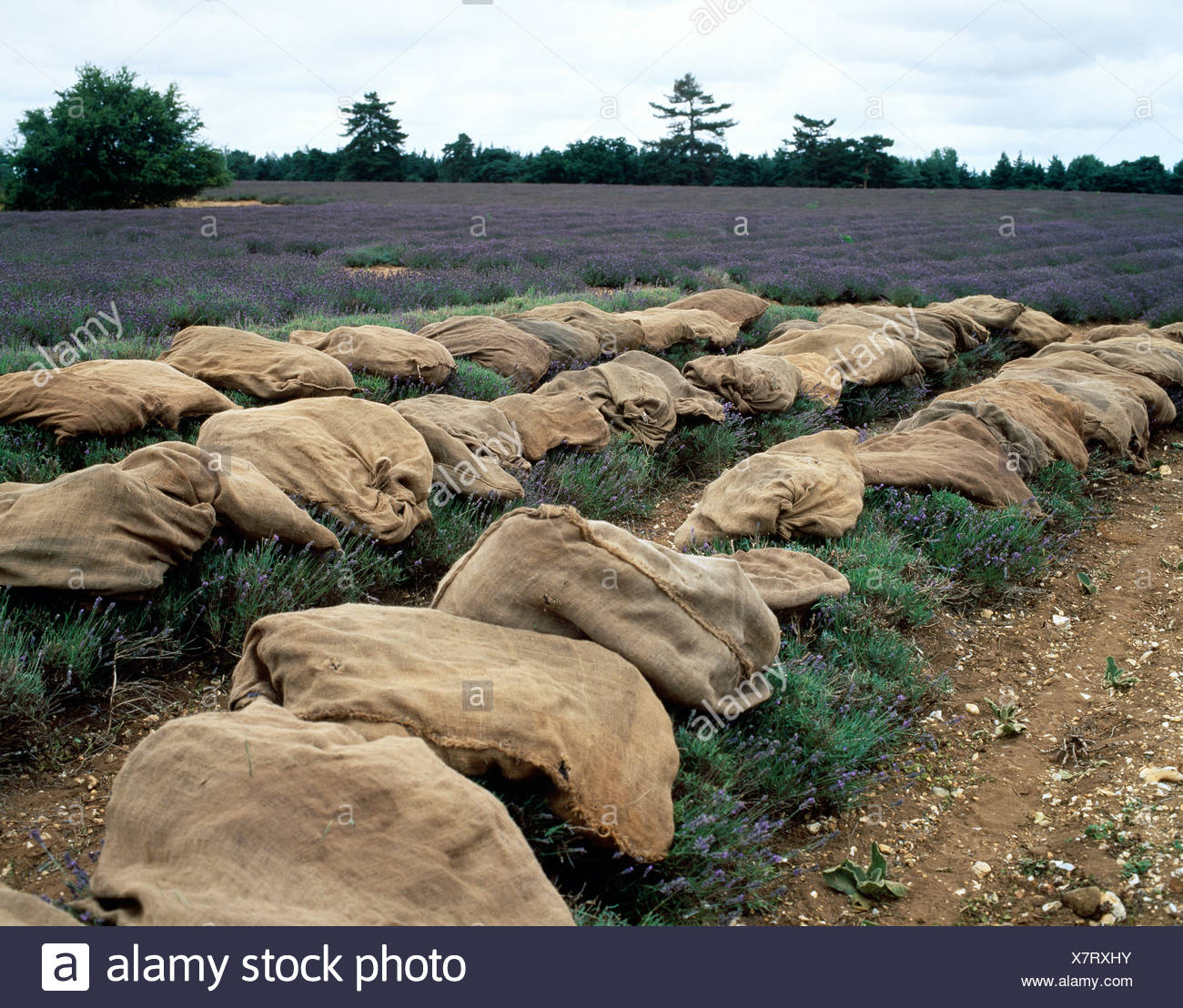 Norfolk Lavender Rows of lavender and canvas sacks in field - Stock Image