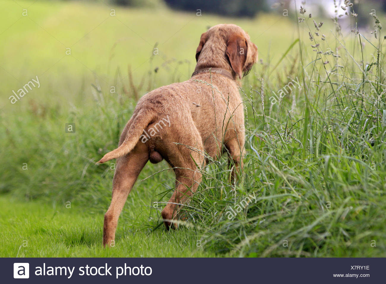 Wirehaired Magyar Vizsla dog - standing on meadow - Stock Image