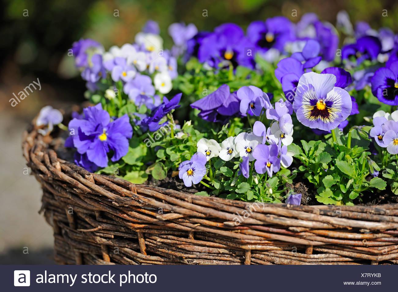 Pansies (Viola), in a basket - Stock Image