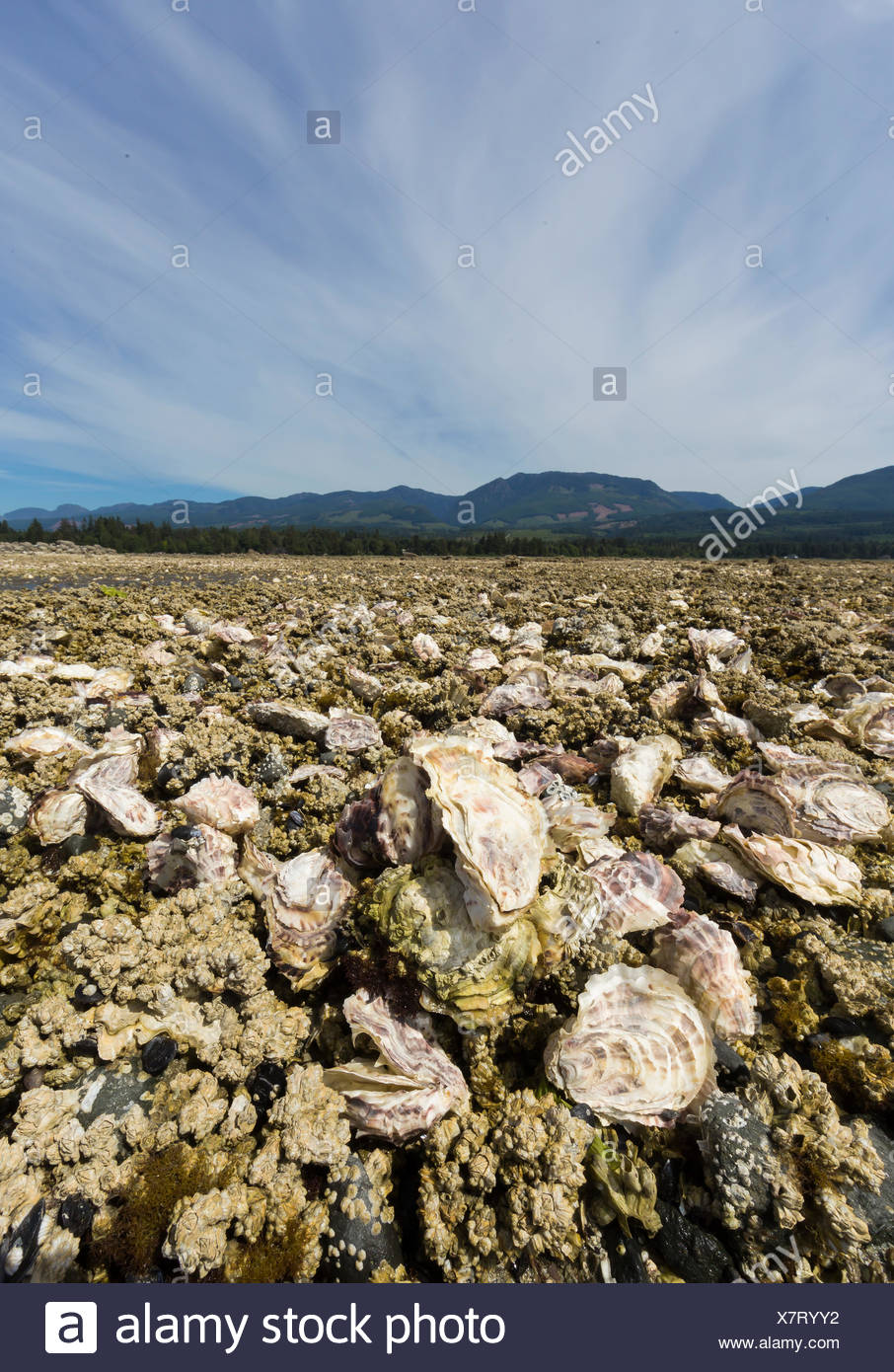 Oysters growing on foreshore leases line the shores of Fanny Bay near the Comox Valley.  Vancouver Island. - Stock Image