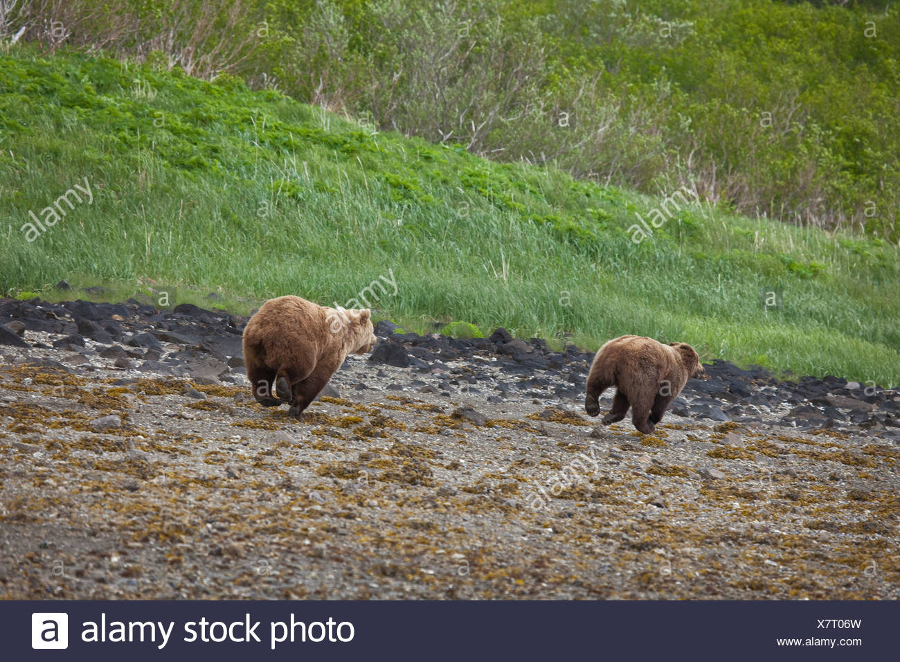 Brown bear runs off another bear on the beach while digging for clams at Geographic Harbor in Katmai National Park, Alaska - Stock Image