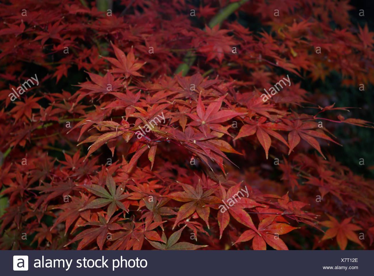 Leaf Tree Maple Japanese Leave Red Leaf Tree Leaves Maple Japanese