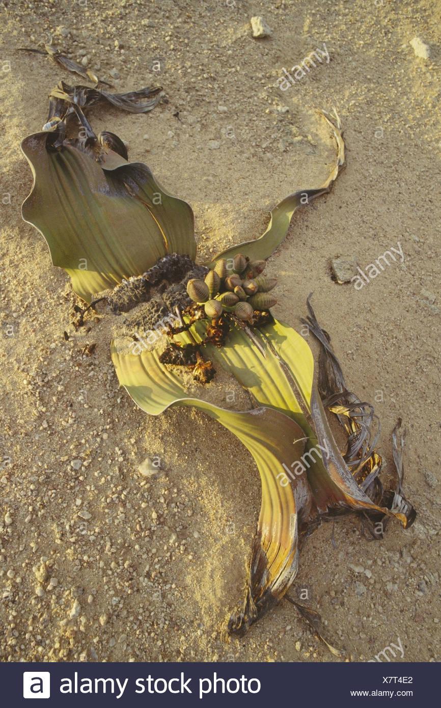 Welwitschie Welwitschia mirabilis female Africa southwest-Africa Namibia Namib Swakopmund nature plant game-plant seed-plant - Stock Image