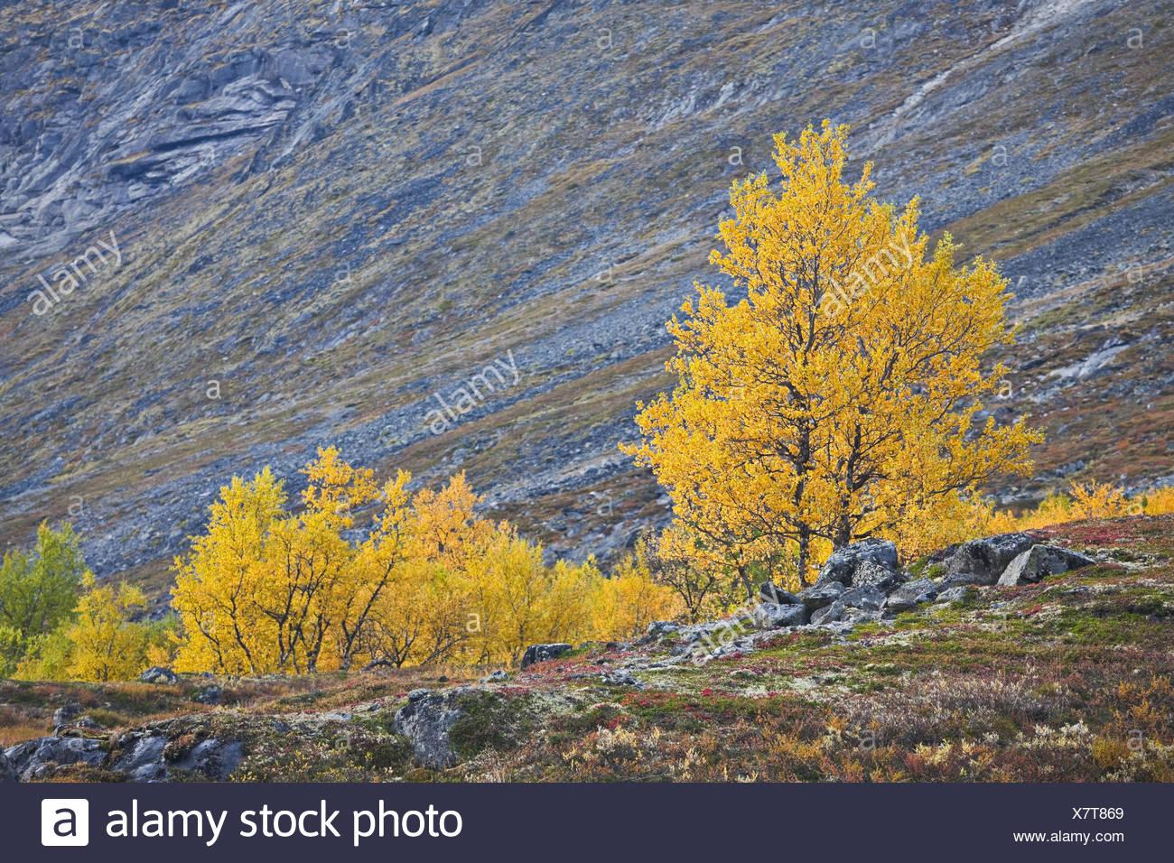 Norway, Jotunheimen National Park, Leirdalen, trees, - Stock Image