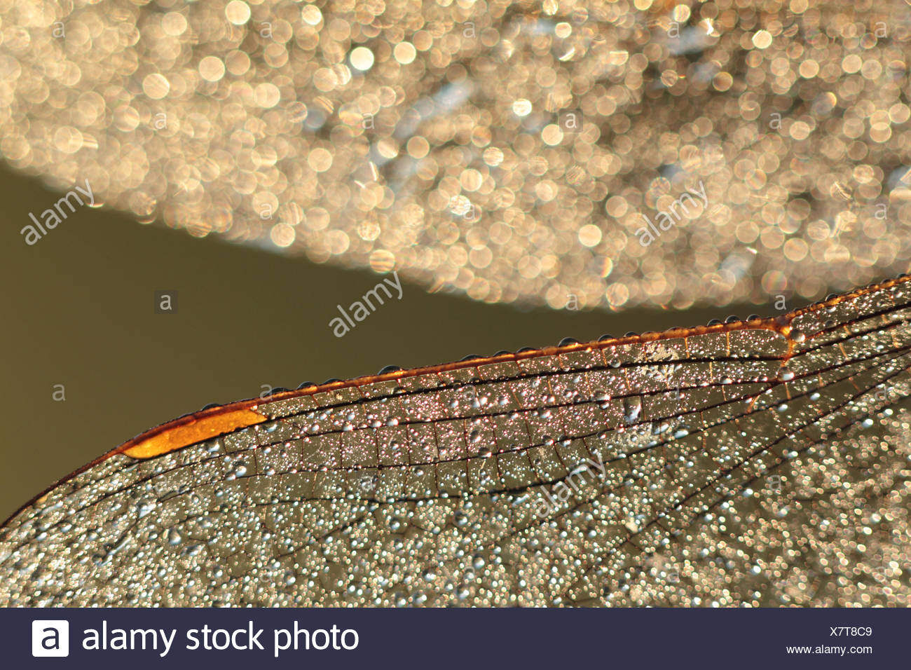 Dew-covered wings of a dragonfly in early morning backlight - Stock Image
