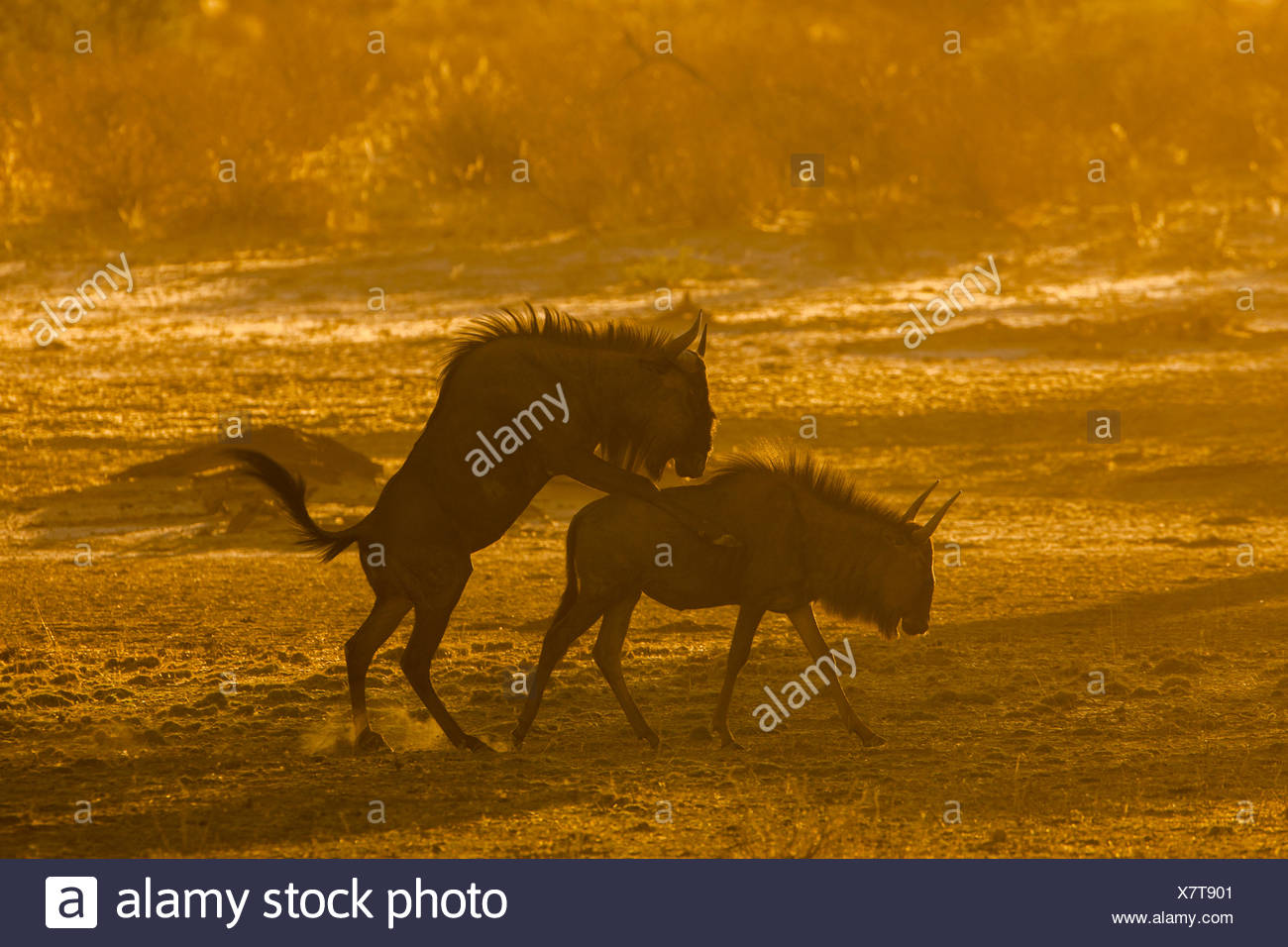 Blue wildebeest (Connochaetes taurinus) mating, morning light, Kgalagadi Transfrontier Park, Northern Cape, South Africa - Stock Image