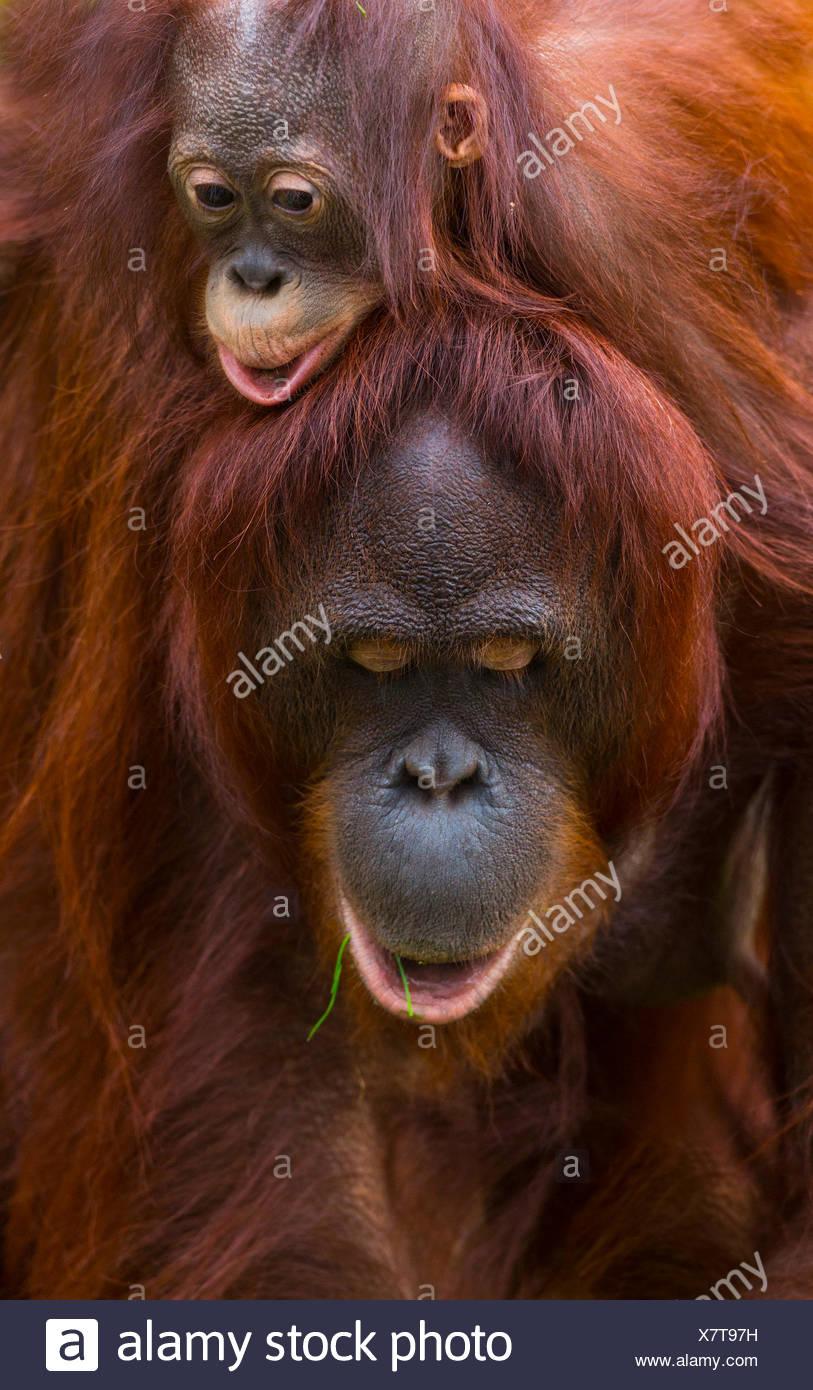 Bornean Orang-utan female and young - Stock Image