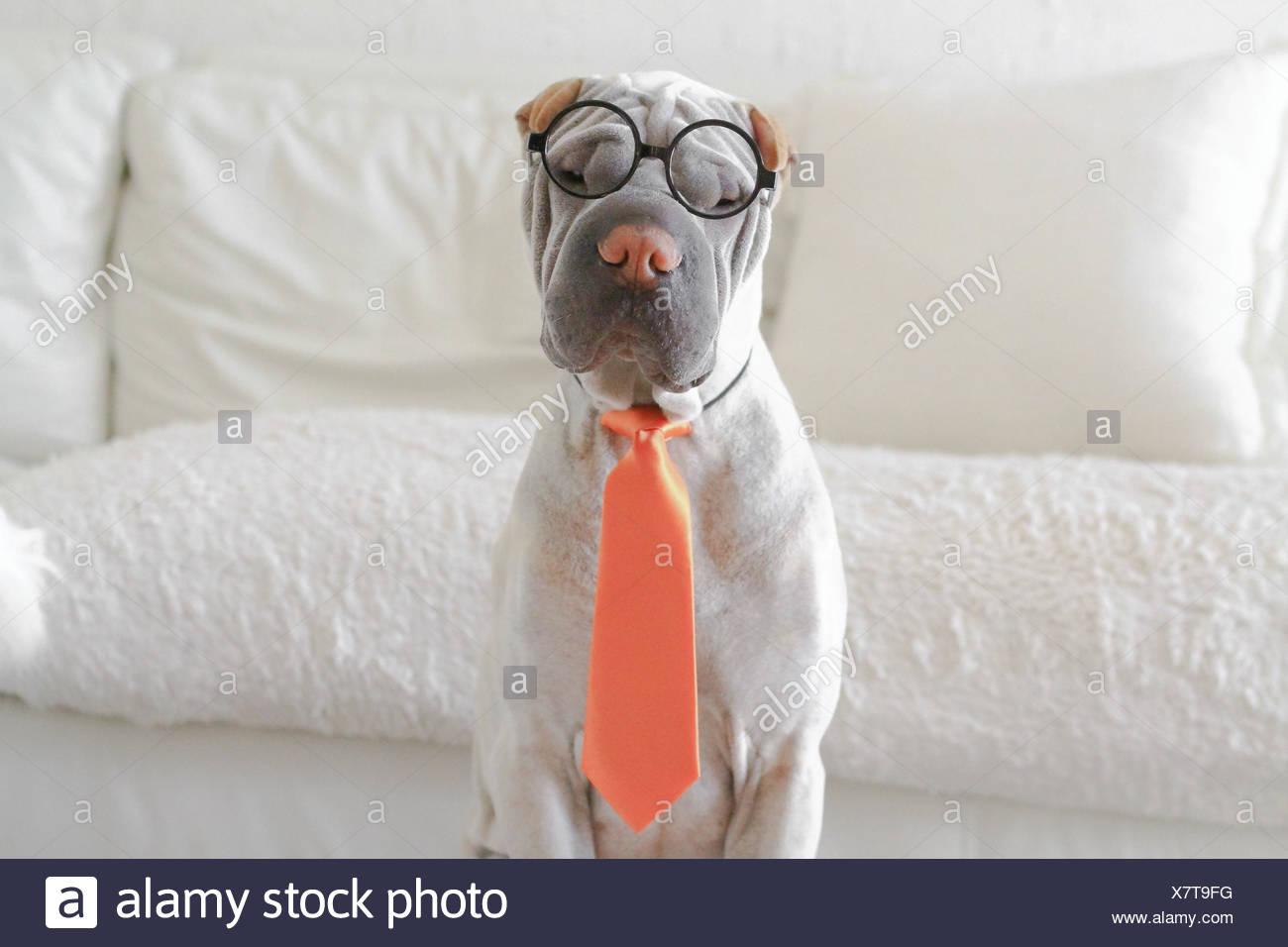 Shar-pei dressed as business man - Stock Image