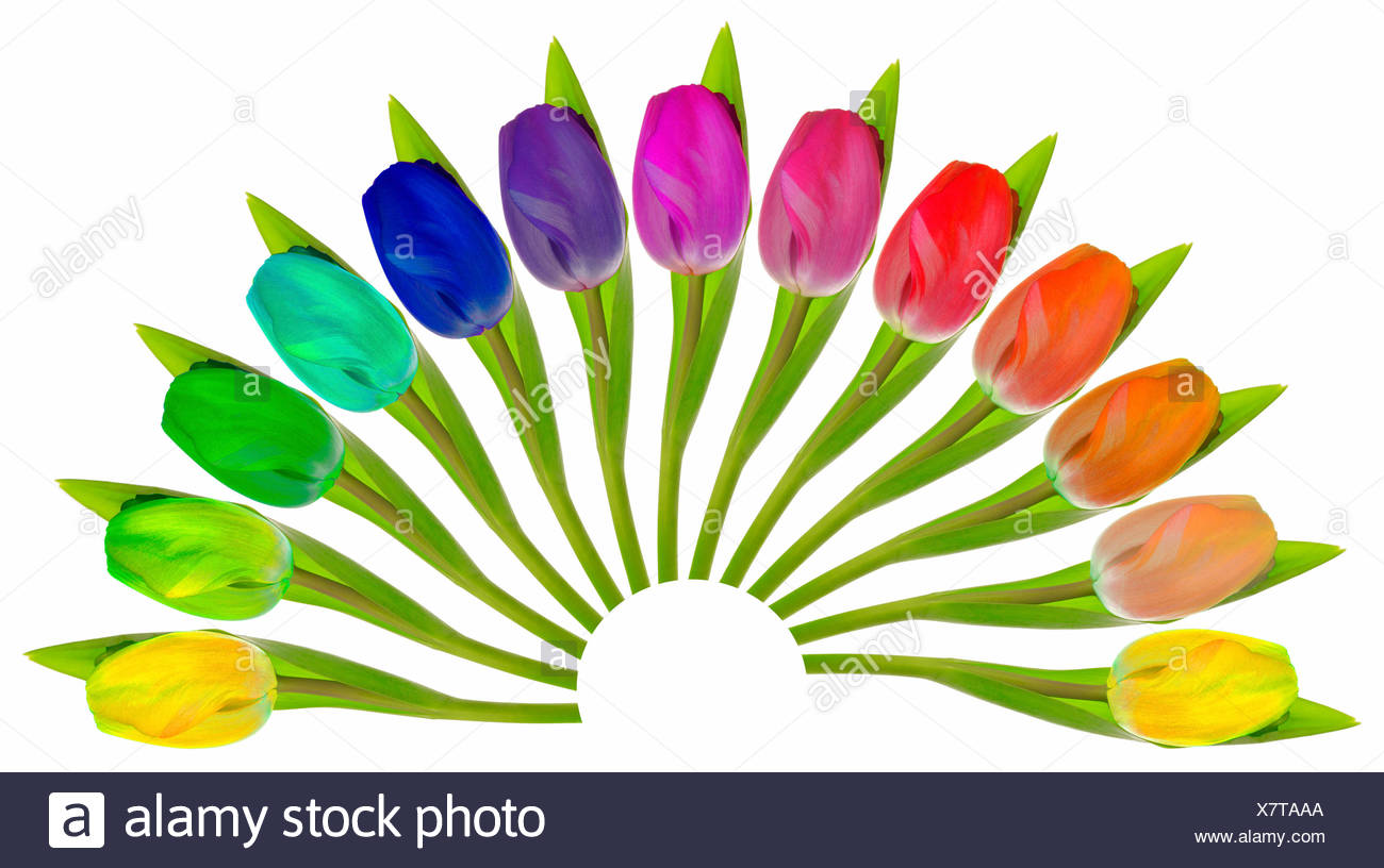 Colourful Tulips arranged in a fan-shape on white Stock Photo