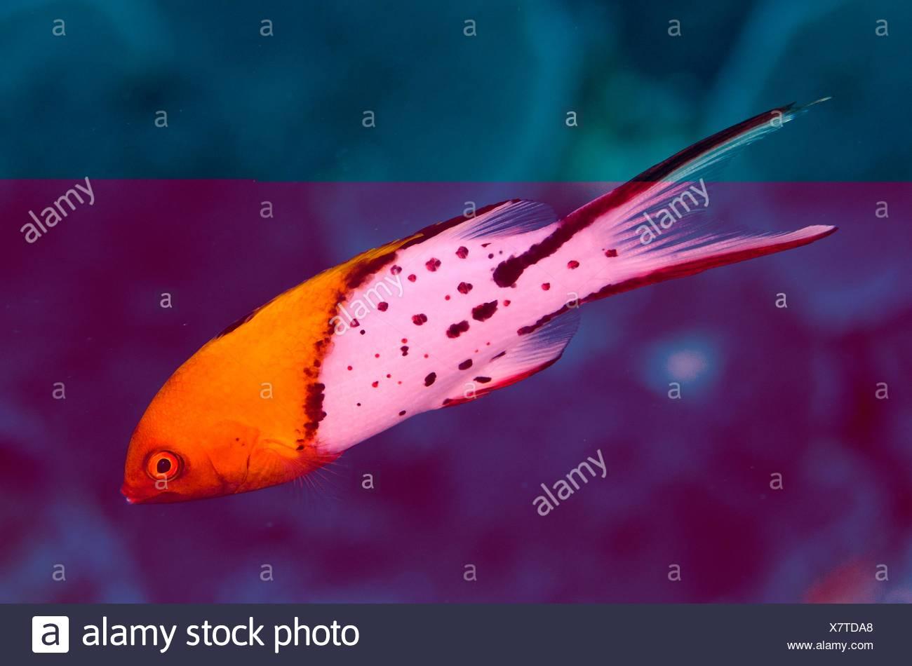 Lyretail Hogfish (Bodianus anthioides), Ngursituli dive site, Forgotten Islands, Ngursituli Island, near Tanimbar, Banda Sea, Indonesia. - Stock Image