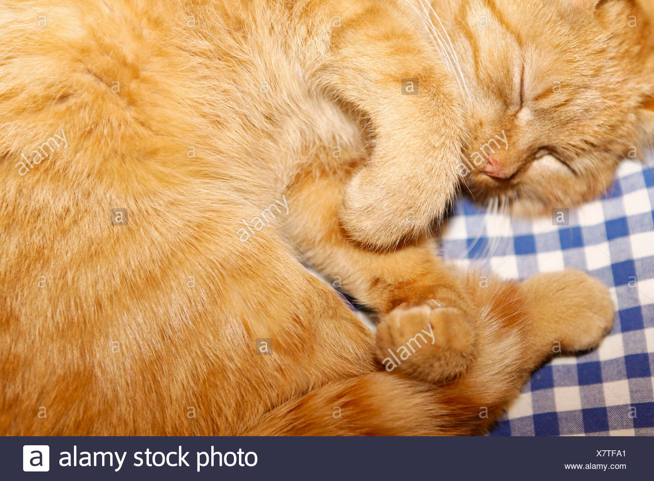 Tiger, house cat of the Carl-von-Stahl-House, a mountain hut from the Alpine Club on the border of Berchtesgaden-Salzburg - Stock Image
