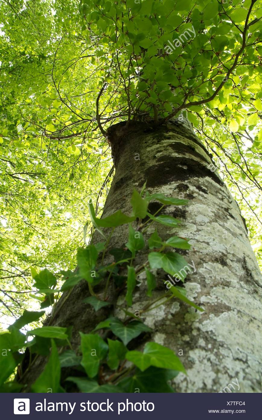 Beech from bellow - Stock Image
