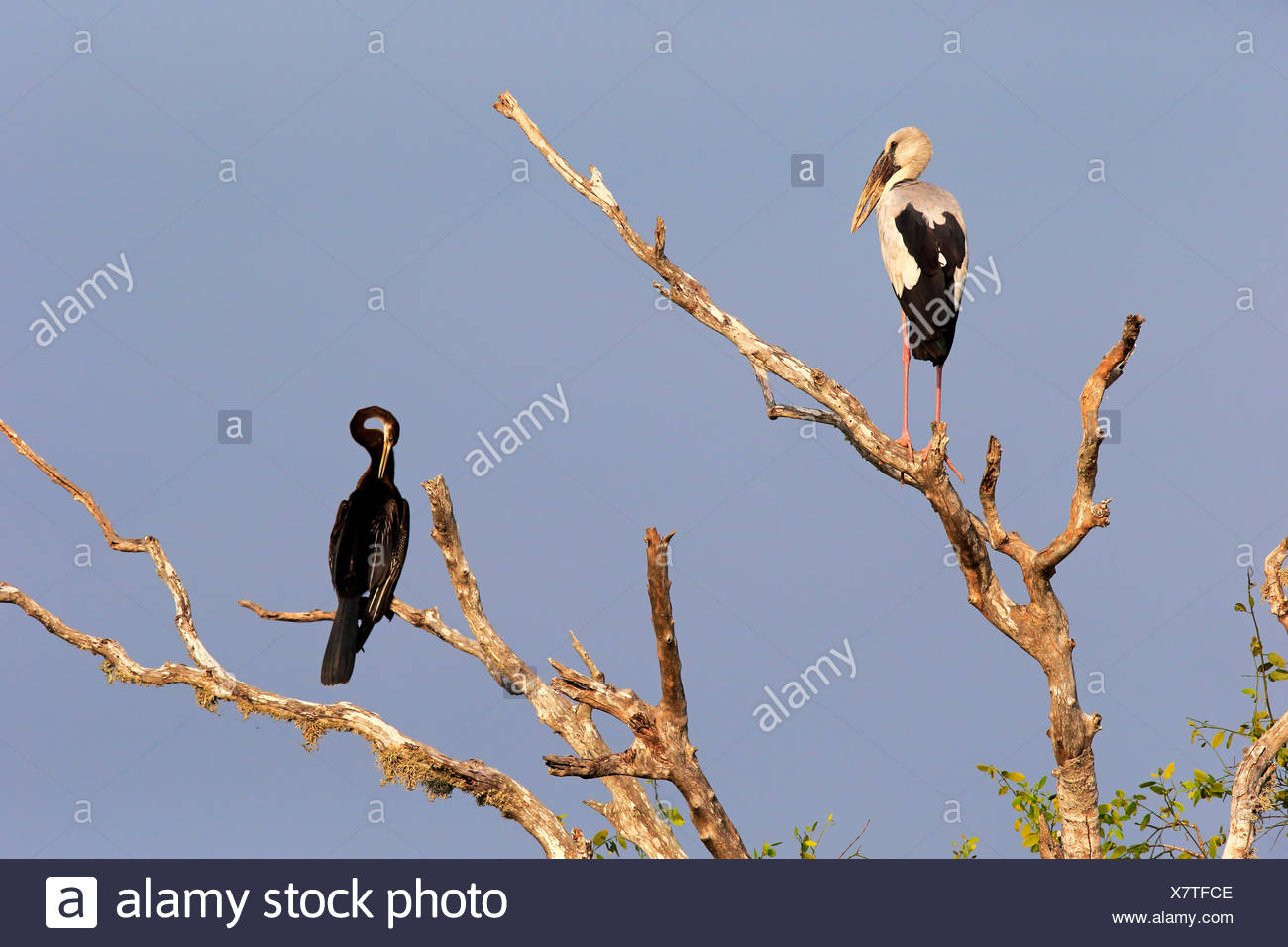 Asian Openbill Stork, Oriental Darter, (Anhinga melanogaster) adult on tree, Bundala Nationalpark, Sri Lanka, Asia / (Anastomus oscitane) - Stock Image