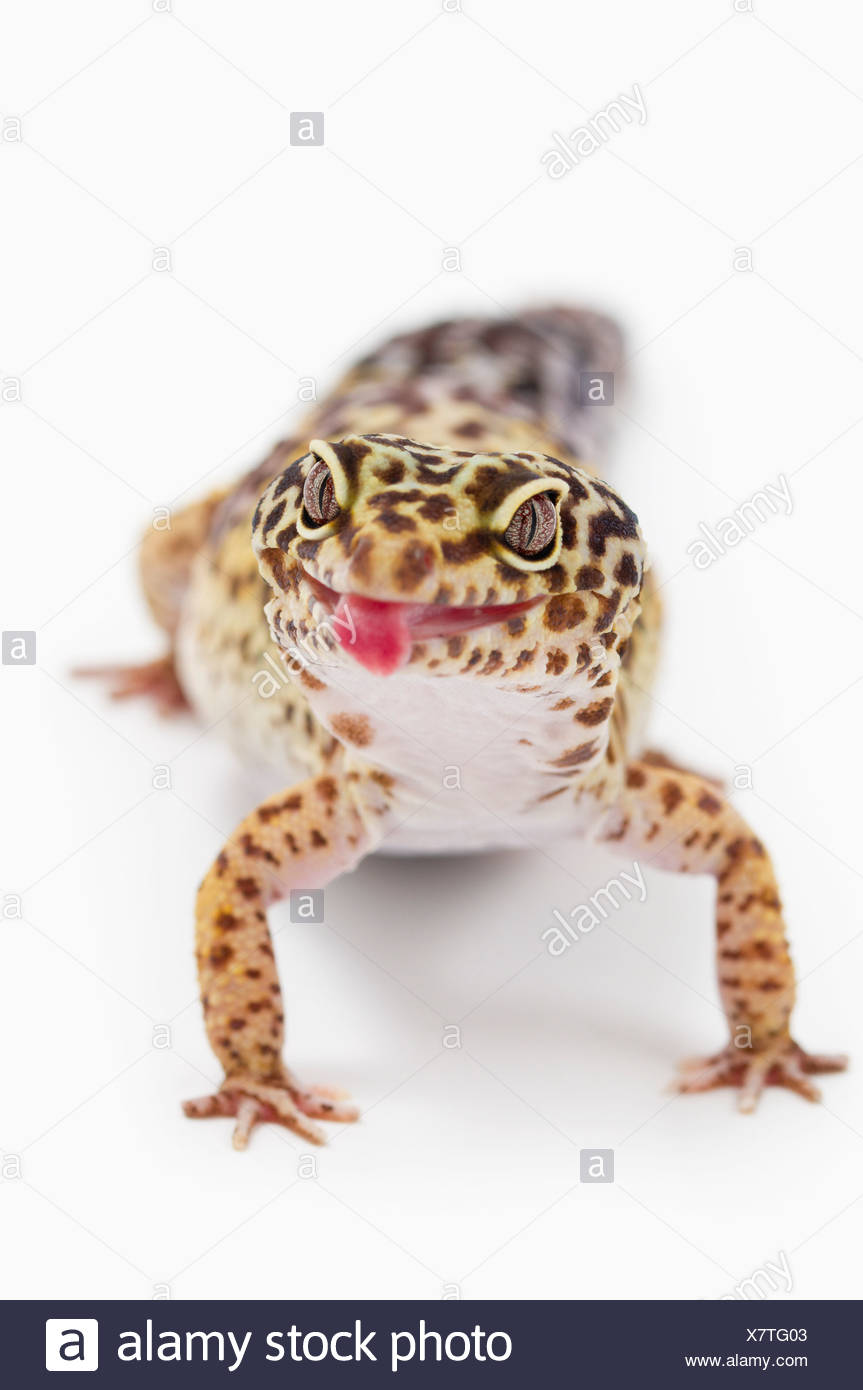 Leopard Gecko (Eublepharis Macularius) Sticking Out It's Tongue - Stock Image