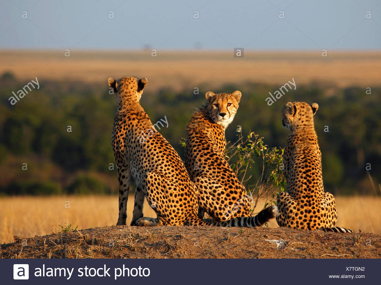 cheetah (Acinonyx jubatus), three cheetahs in evening light, Kenya, Masai Mara National Park - Stock Image