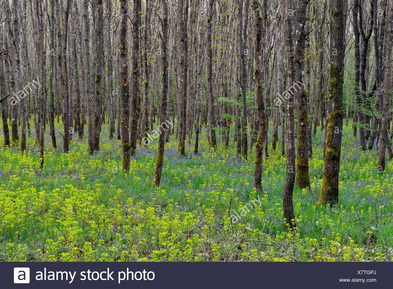 bluebell and euphorbia wood, oakery in the forest of Rambouillet, Yvelines department, Ile de France region, France, Europe. - Stock Image