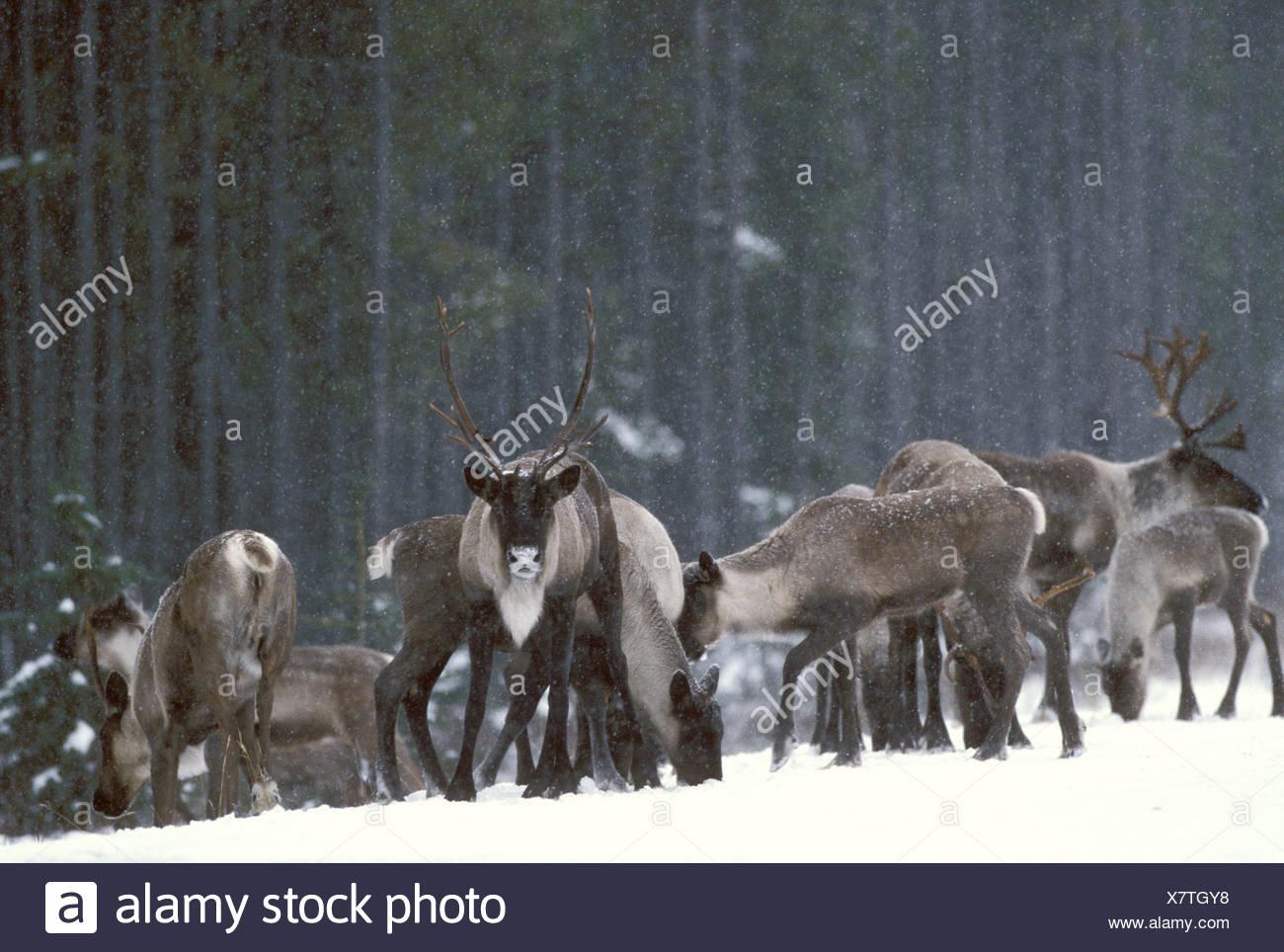 Mountain Caribou during Winter in Jasper National Park, Alberta, Canada - Stock Image