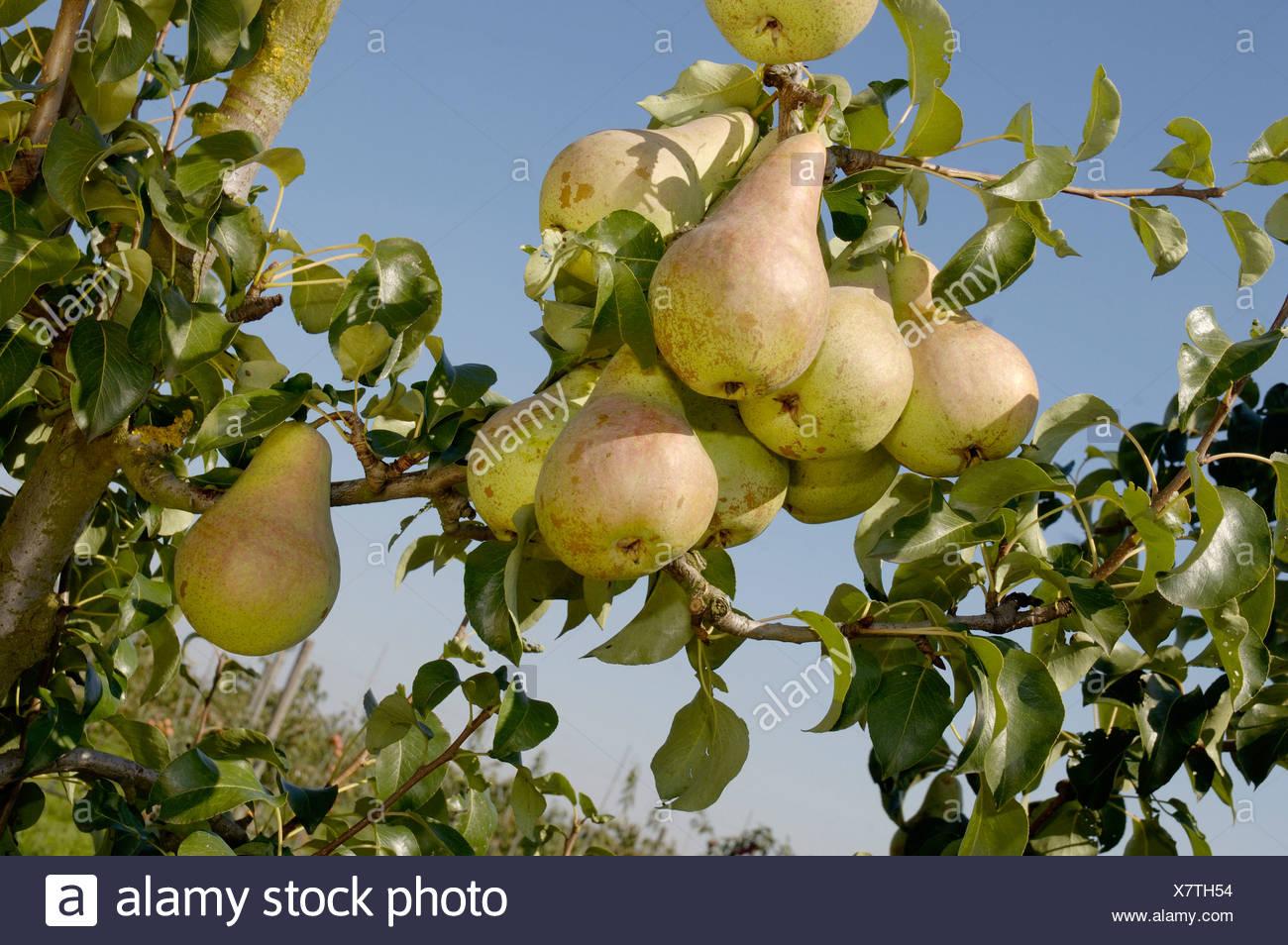 Pear / Concord - Stock Image