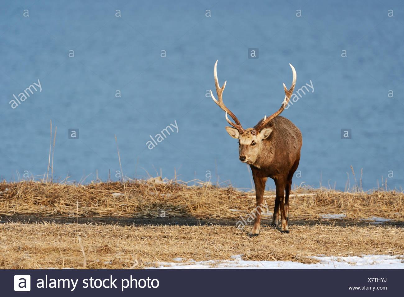 Hokkaido sika deer, Spotted deer or Japanese deer (Cervus nippon yesoensis), male, stag, Shiretoko Nationalpark, Rausu, Hokkaido - Stock Image