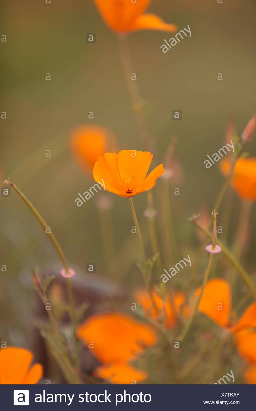 Orange Calif Poppy - Stock Image