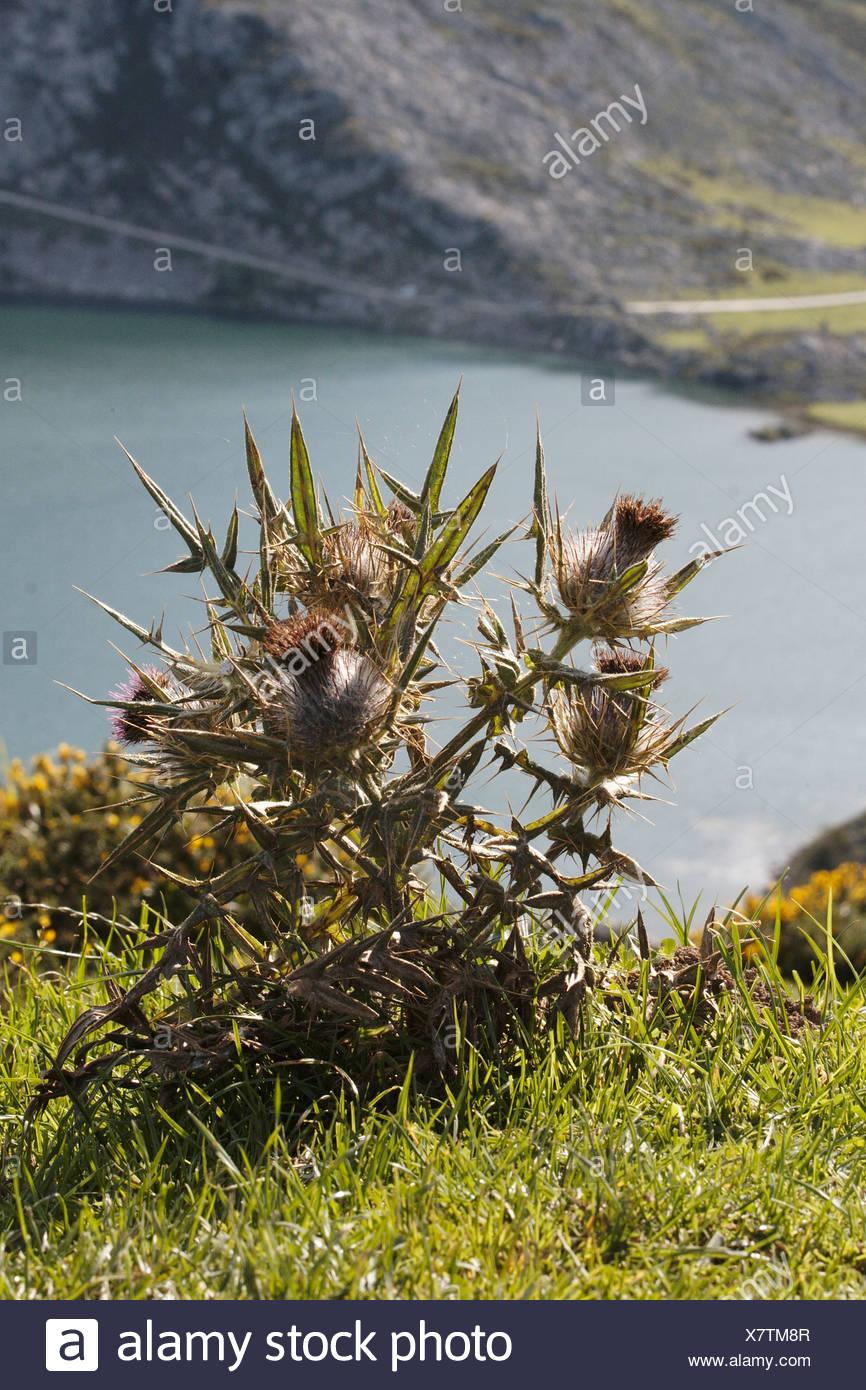Spain, Asturias, Thistle - Stock Image