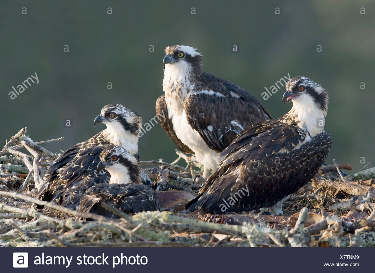 Osprey (Pandion haliaetus) with its young ones on a nest - Stock Image