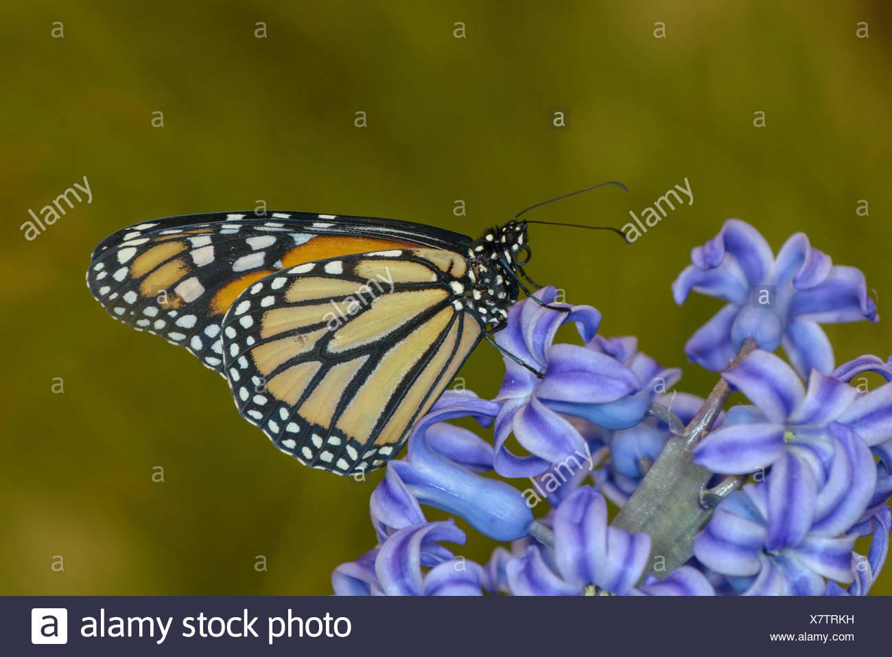 Monarch Butterfly, Danaus plexippus, on hyacinth blossom - Stock Image