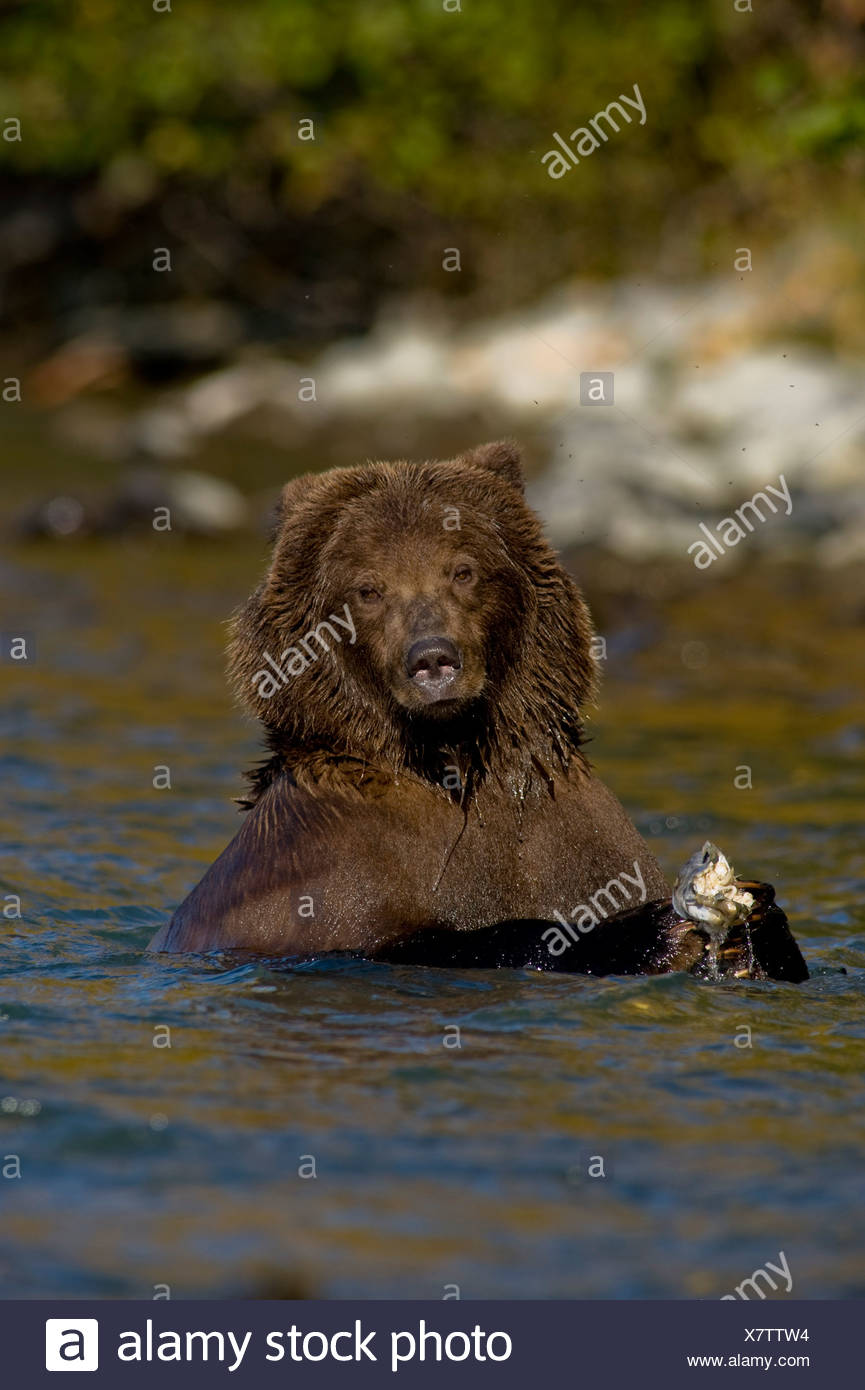 Grizzly bear clutches a salmon while fishing in the Kenai River during Fall, Kenai Peninsula, Alaska - Stock Image