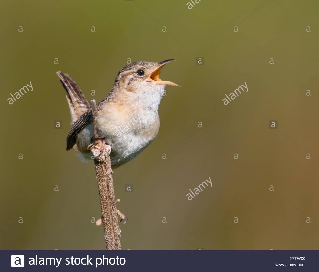 A Sedge Wren, Cistothorus platensis, sings from a perch near Saskatoon, Saskatchewan Stock Photo