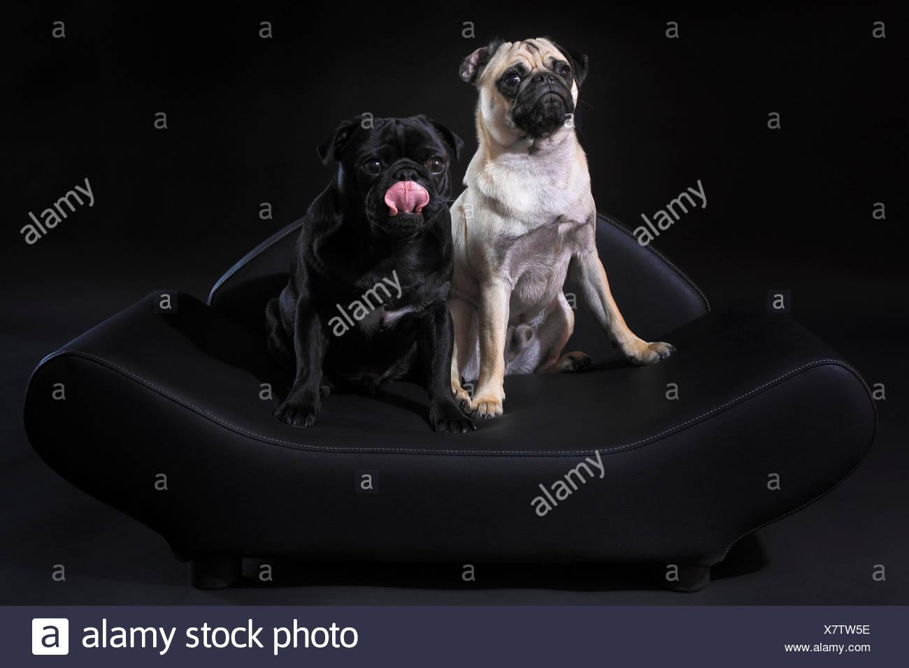 2, domestic animal, pet, dog, dogs, dog sofa, pugs, fatties, mops, pugs, fatties, pair, couple, portrait, couple, sofa, four-leg - Stock Image