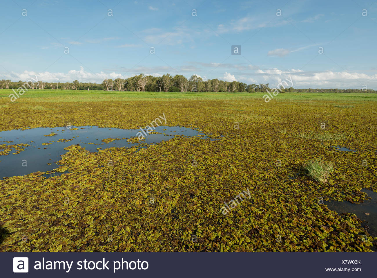 Giant sensitive tree (Mimosa pigra) weed covering 800 square km of Northern Territories wetlands, Northern Territory, Australia. - Stock Image