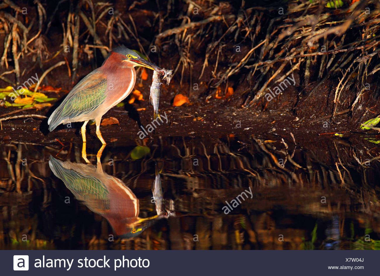 Green-backed Heron, Green Backed Heron (Butorides spinosa), eating a fish, USA, Florida, Merritt Island - Stock Image