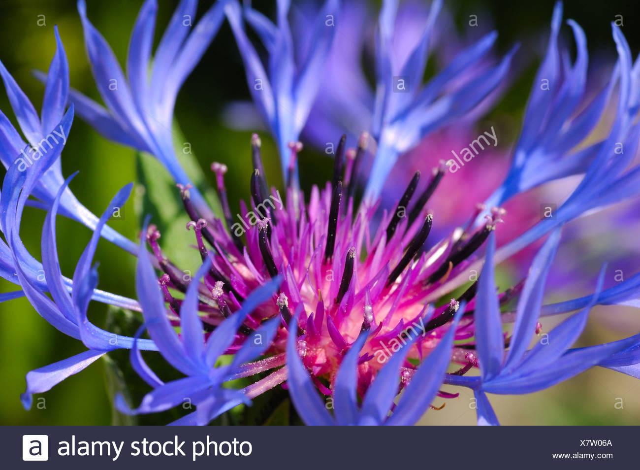 Flower of Mountain cornflower, Mountain bluet, Centaurea montana - Stock Image