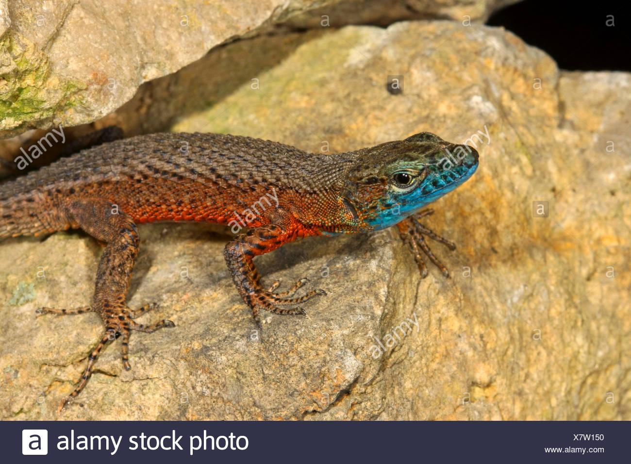 Blue-throated keeled lizard, Dalmatian Algyroides (Algyroides nigropunctatus), male on stones - Stock Image