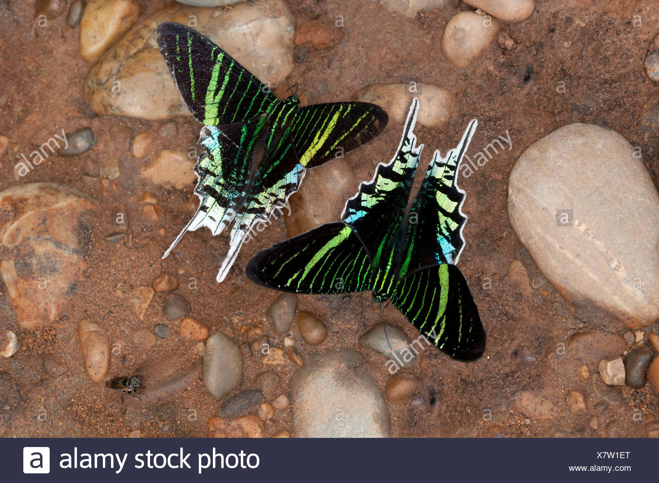 Green-banded Urania moths (Urania leilus) feeding on mineral-rich water, Tambopata Nature Reserve, Region Madre de Dios - Stock Image